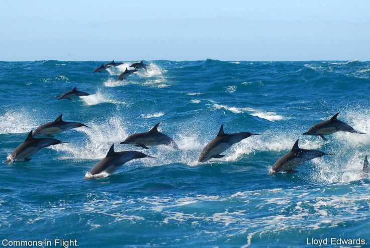 Common Dolphins seen on the ORIGINAL BIG 7 TOUR - take a boat charter into Algoa Bay waters to view whales and dolphins and then spend the rest of the day viewing the Big 5 in Addo Elephant Park!