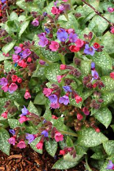 Lungwort Dark Green Leaves With Silver Spots Are Adorned Beautiful Pink To Blue Flowers