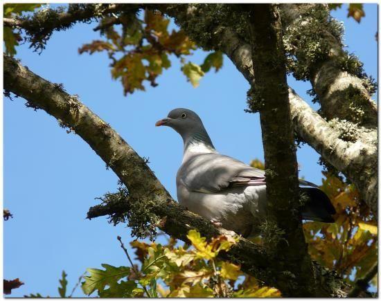 Pigeon ramier - naturepassion