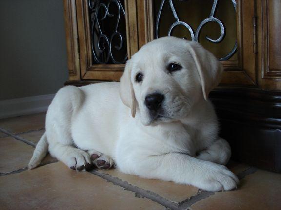 white lab | Welcome to Heartlands Quality Labrador Retrievers, where Quality ...