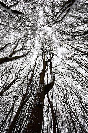 Beech Woodland in Winter, Prior's Wood, Somerset