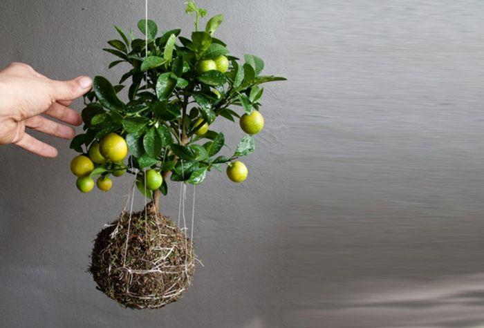 Best 25 citronnier ideas on pinterest bouture - Faire pousser citronnier ...