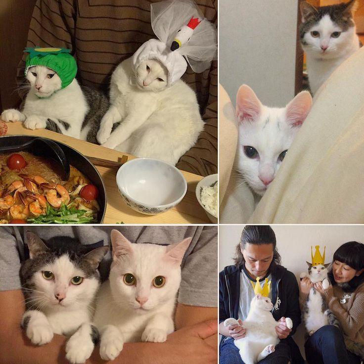 @lee_sirasu_roco ちゃんから届いた#fourfavoritepictures バトン◡̈⃝♩ 好きな写真を4枚選んで、バトンを渡したい人をタグ付けするんですって。バトンは止めちゃうけど、興味ある方はどうぞ〜♩ 右上↗︎の家に来たばっかりの頃、おこちゃんのキトンキャップは『八』の字やった❥︎ #八おこめ #ねこ部 #cat #ねこ #八おこめズラ