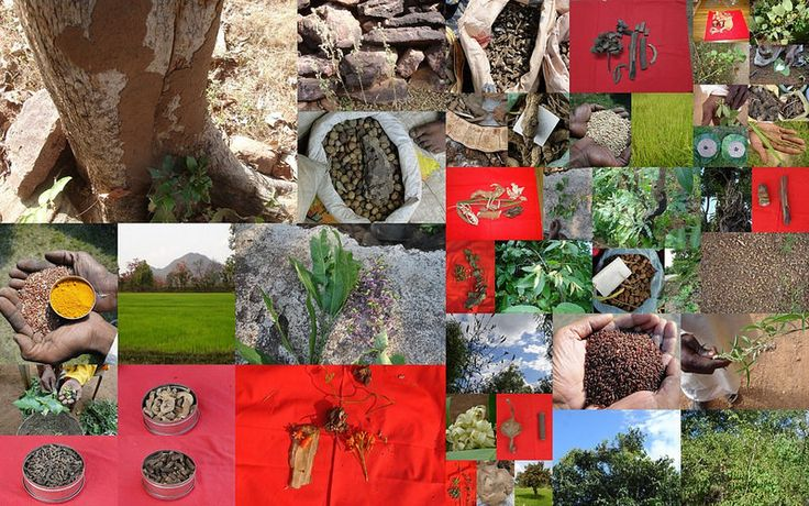 Medicinal Rice based Tribal Medicines for Diabetes Complications and Metabolic Disorders (TH Group-733) from Pankaj Oudhia's Medicinal Plant Database. (Encyclopedia of Tribal Medicines by Pankaj Oudhia) #TribalKnowledge #Biodiversity