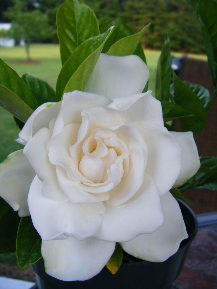 98 Best Gardenia 39 S Images On Pinterest Beautiful Flowers