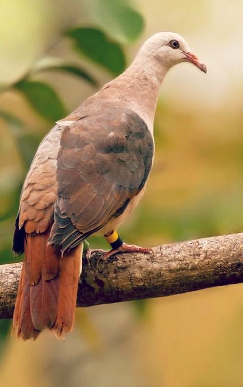 Pink Pigeon (Nesoenas mayeri). A critically endangered species of pigeon endemic to limited areas on the small island of Mauritius. In the 1990s, the population was at ten birds and almost extinct. Intensive conservation efforts have increased it to over 400.  photo: Dubi Shapiro.