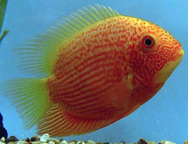 Red Spotted Gold Jumbo Severum Cichlid Fish Arizona Aquatic Gardens Cichlid Fish Fish Cichlids