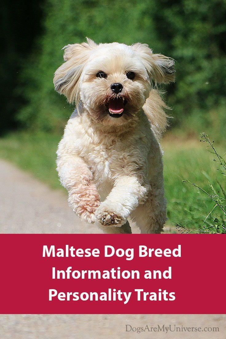 Maltese Dog Breed Information And Personality Trait Maltese Dog