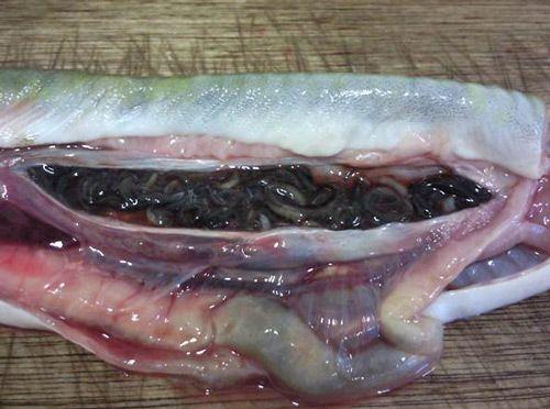 Eel Swim bladder Nematode Anguillicola crassus.  Read more http://www.fisheriesireland.ie/Invasive-species-list/eel-swim-bladder-nematode-anguillicola-crassus.html