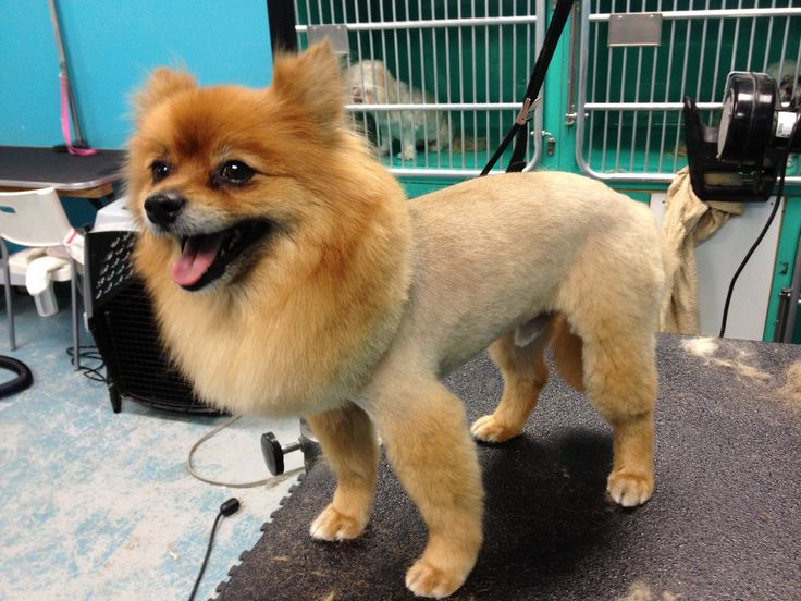 Pomeranian lion cut   Mi perrito   Pinterest