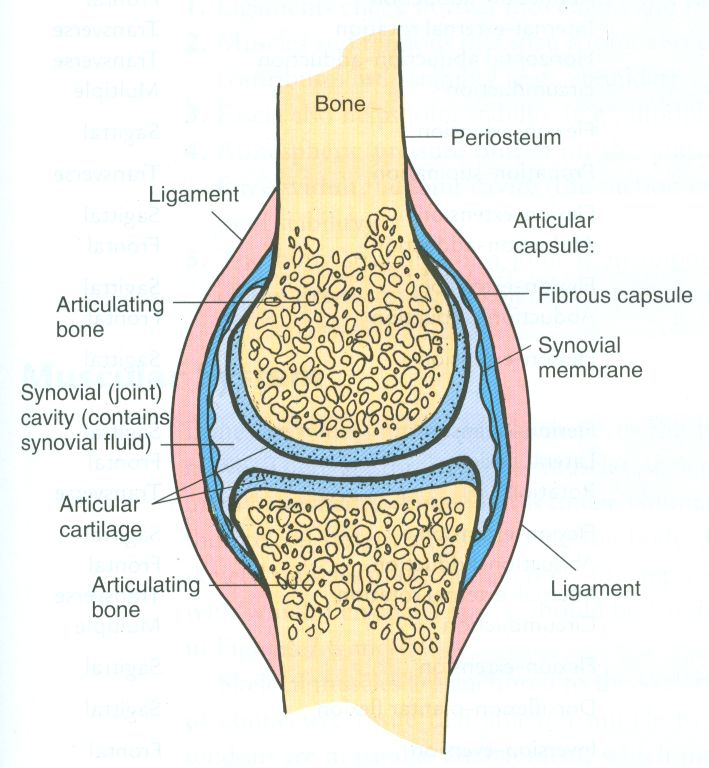 synovial joint. Easy pic for patients to understand and you talk about joint health