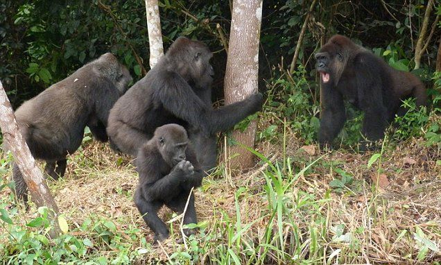 Who murdered my gorillas? Kent zoo keeper who returned family of primates to African jungle sees experiment end in a bloodbath - and the prime suspect is a jealous ape