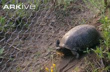 Blanding's turtle next to drift fence