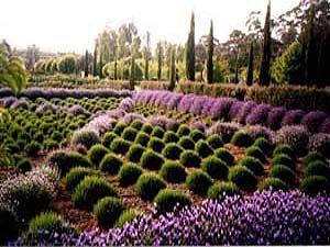 Lavandula - Swiss Italian Farm. Daylesford Victoria.
