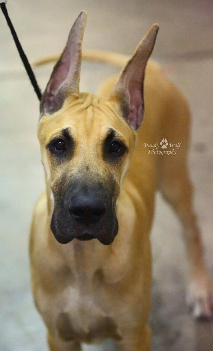 Gorgeous Great Dane By Munandywolf Photography