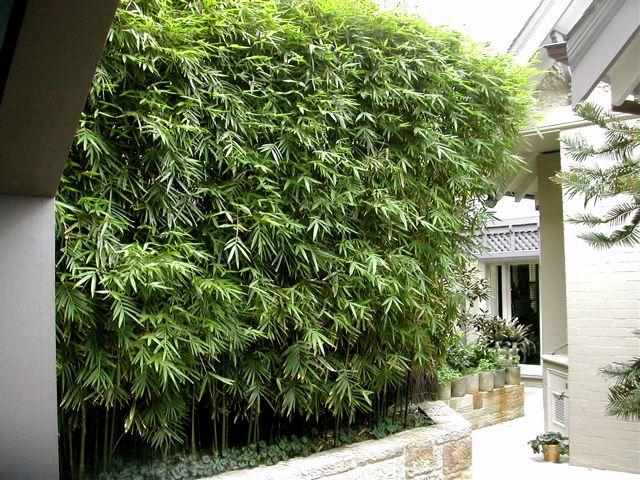 Bambusa textilis var. gracilis 'Slender Weavers Bamboo'