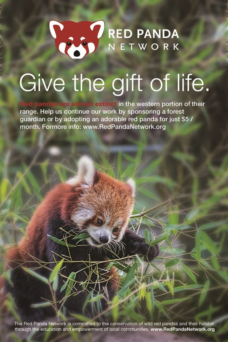 Bien connu 25 best International Red Panda Day images on Pinterest | Red  CG16