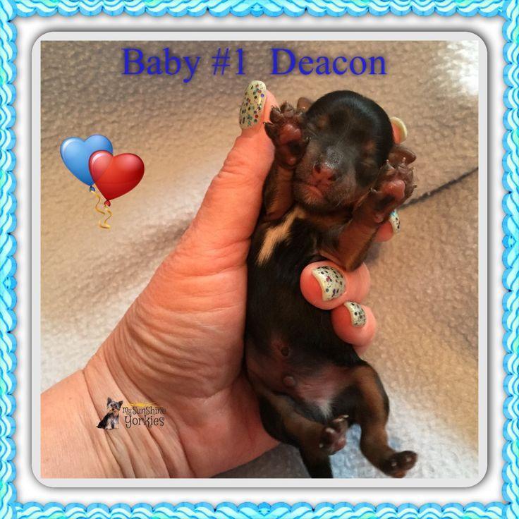 New Babies!!! www.mysunshineyorkies.com