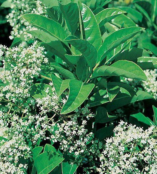 Viburnum - Emerald Luster