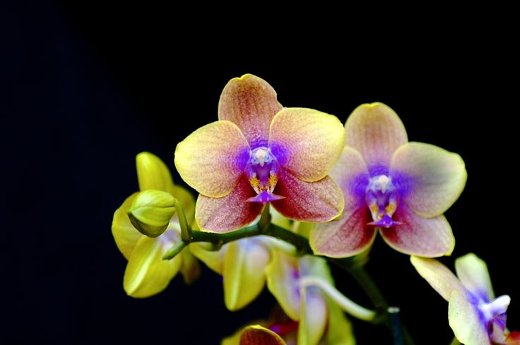 OrchidsTattoo Ideas, Orchids Care, Purple, Nature, Krohn Conservatory, Colors Palettes, Flower Gardens, Display, Cincinnati