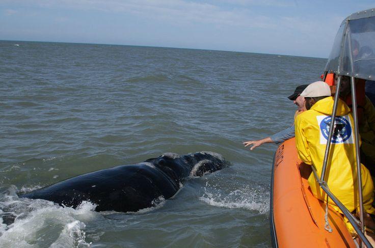 Observação de baleias-francas, Garopaba (SC)