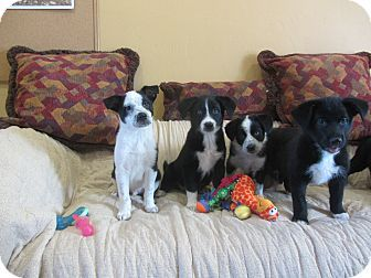 Ridgway, CO - Border Collie/Corgi Mix. Meet Puppies, a puppy for adoption. http://www.adoptapet.com/pet/17986340-ridgway-colorado-border-collie-mix