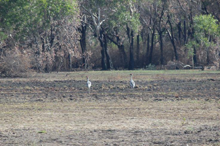 Brolga x2 in Kakadu National Park