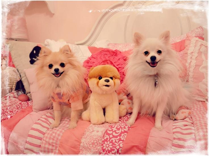 Pomeranians & Boo