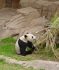 1999년, 샌디에이고 동물원에서 태어난 후아 메이