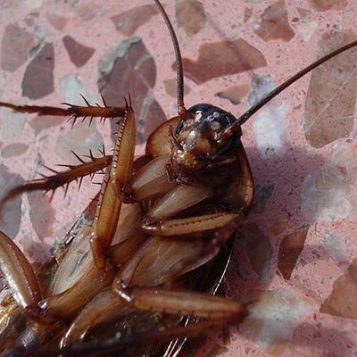 Aquí dejamos varias maneras de combatir a las hormigas, las cucarachas, los mosquitos y otras pestes con remedios caseros y productos naturales.