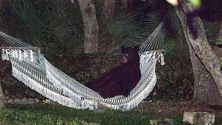 Best Backyard Hammock Bear Lies Down For A Break In Hammock In Florida Backyard   Nbc News