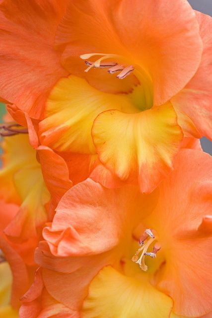 photo: Orange Sherbet ... close up of gladiola flowers ... pinned to beautiful Pinterest board: Couers de flueurs (Hearts of Flowers) ... all extreme close ups of flower centers ... gorgeous design lines and colors ...