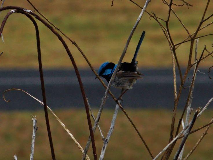 Supurb Blue Fairy Wren