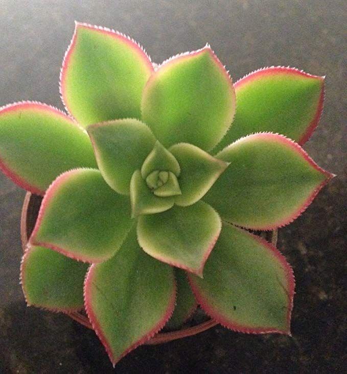 """Gorgeous Aeonium  ~KIWI PINWHEEL~ lovely 3/"""" variegated branching succulent"""