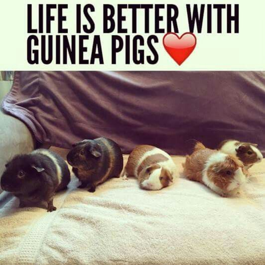 Life IS better with guinea pigs!