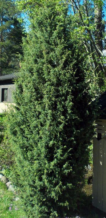 Puutarhamyymälä Muhevaiselta Juniperus communis 'Suecica' kork 2-5 m aurinkoon