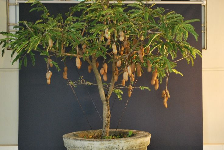 A young yet full of fruits - Tamarind Tree
