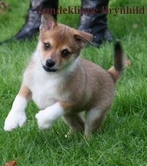 Lundeklippe Brynhild as a pup :3