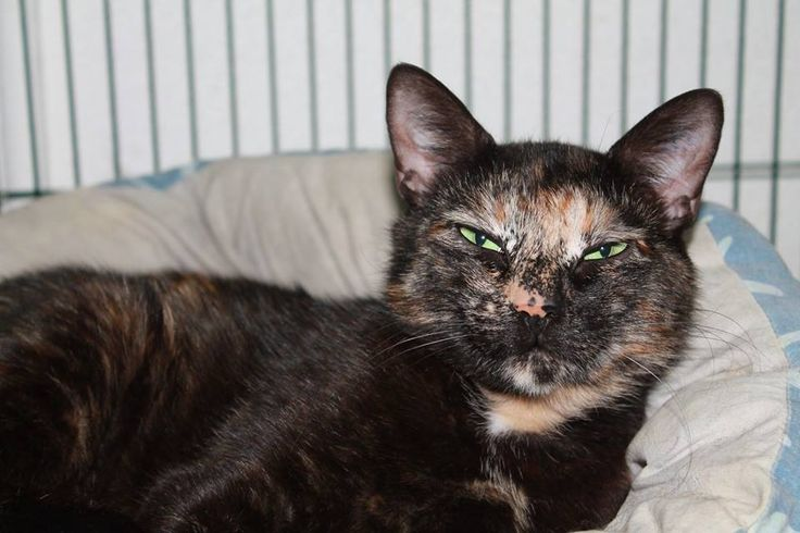 Meet Gypsy.    Gypsy is an 18 month old Domestic Short Hair Tortoiseshell that is looking for her forever home.     Anyone would be lucky to have this gorgeous girl as part of their family.    Our darling girl has been;  Vet Checked   Desexed   Vaccinated   Microchipped: 982000362830236  Wormed and flea treated    For further information about Gypsy please contact our shelter on   03 5427 3603 or via email to shelter@petshaven.org.au    Gypsy like all of our animals comes with 4 weeks FREE…