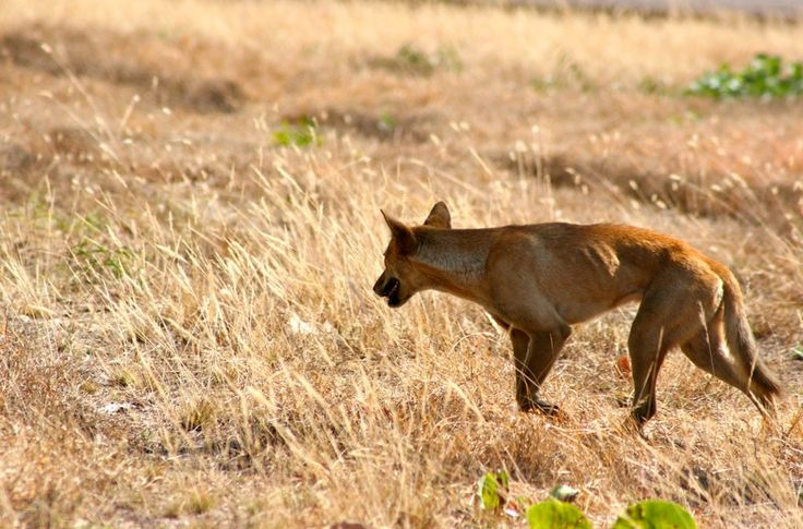 All dingoes are ginger, right? Nope. They don't bark? Wrong again. And they're ultimately just wild dogs? Well, that's trickier, but for conservation purposes the answer is still basically no.