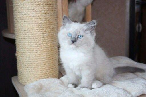 Ashby ( blue mitted ragdoll)