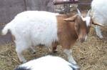 Mini Fainting Goats for Sale
