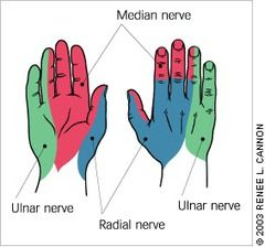 median radial and ulnar nerve distribution - Google Search