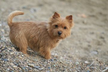 Norwich Terrier ~ bred to hunt small vermin or rodents. With a friendly personality, Norwich Terriers are today mostly a companion dog breed. One of the smallest terriers, these dogs are generally healthy, but are relatively rare, due in part to their low litter size