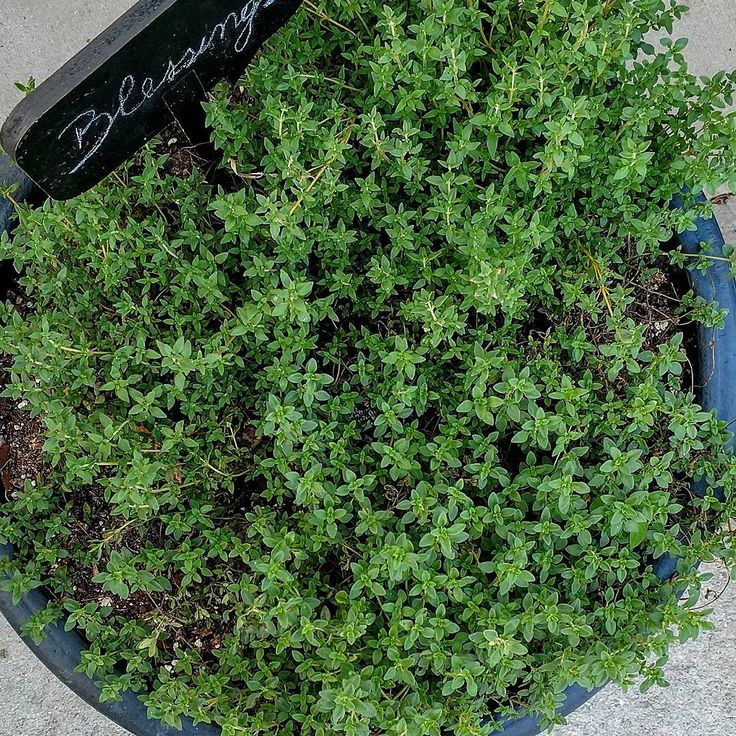#Thyme is your #natural #medicine superhero in the winter. It has a long history of use in connection with chest and respiratory problems ( coughs, chest #congestion) due to its potent volatile oils: thymol, carvacolo, borneol, geraniol. Thyme also contains a variety of #flavonoids which increase its #antioxidant capacity. /climbing_ivy on IG / #herb   #freshherbs #herbalremedies #coldandflu