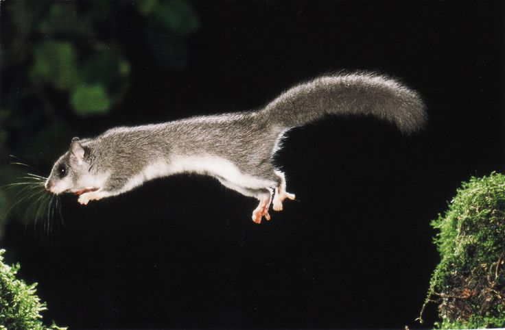 The Flying squirrel, Pteroys volans, liito-orava
