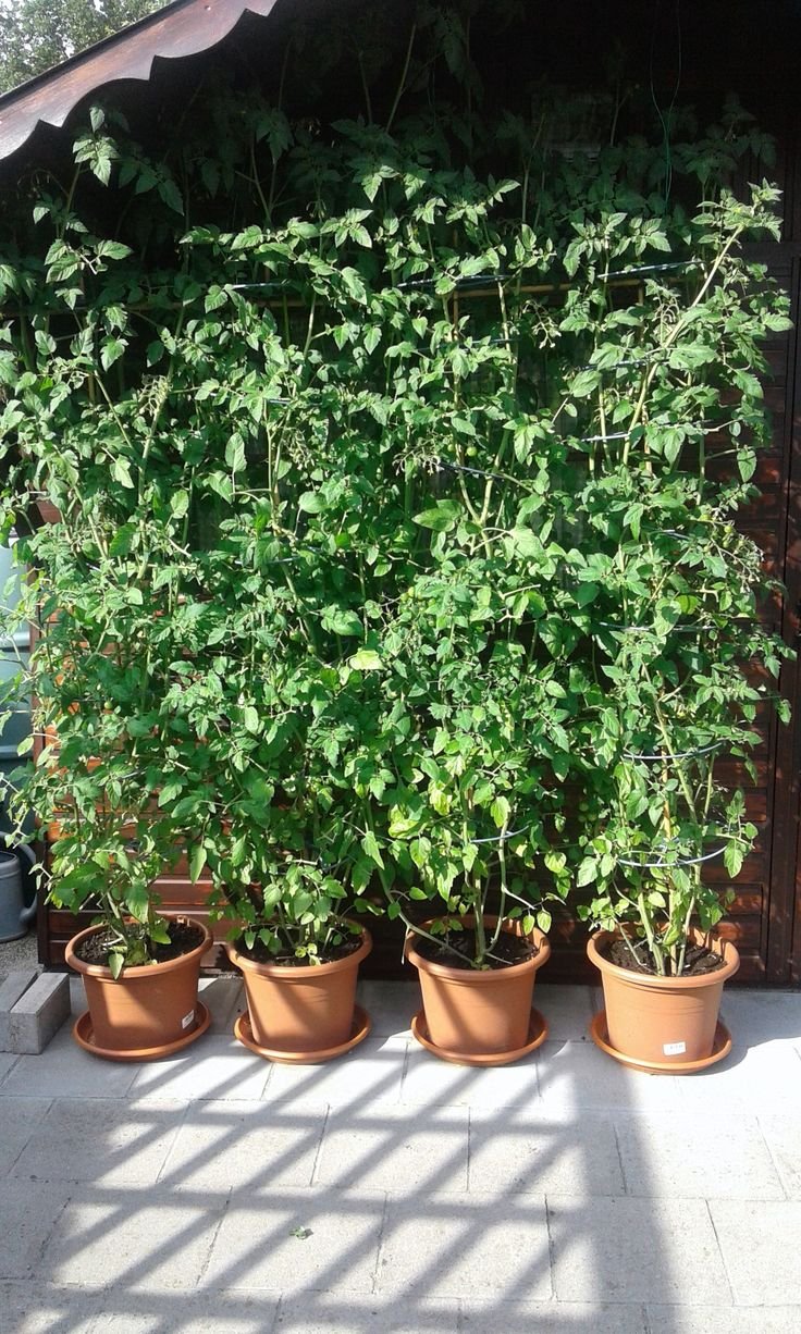 Sweeties, kleine tros tomaatjes.  Snoep tomaatje, zeer lekker. Goed geslaagd, grote opbrengst,  zelfs buiten in potten. Geregeld water en voeding geven.