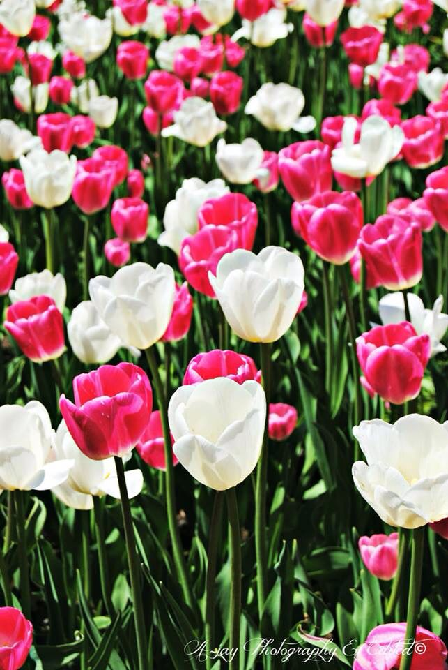 Taken by A-jay Photography & Edited @ The Ottawa Tulip Festival 2014.