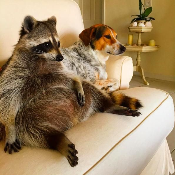 Orphaned Raccoon Lives With Dogs, Thinks She's One Of Them | For more cute/funny pets videos visit ---> http://gwyl.io/