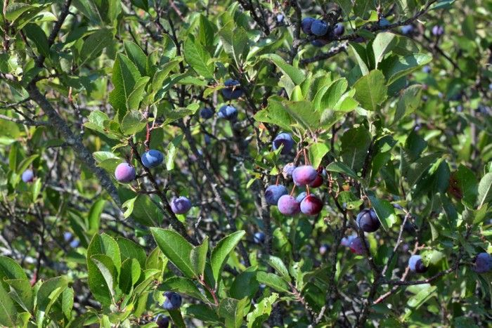 ripe beach plums ready for picking: Gardenista